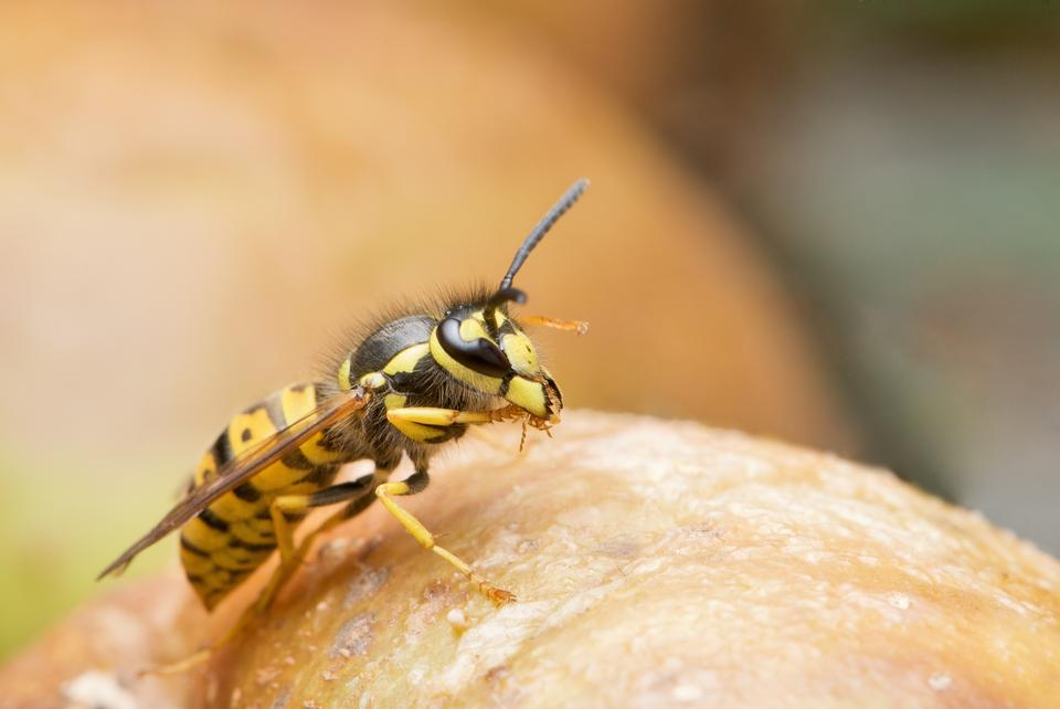 Free Wasp close up