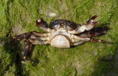 Free Marbled rock crab