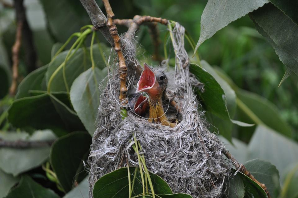 Free Baltimore Oriole chicks in their nest