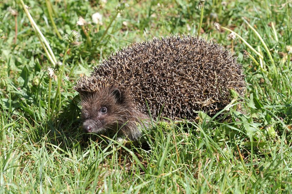 Free European hedgehog in the grass