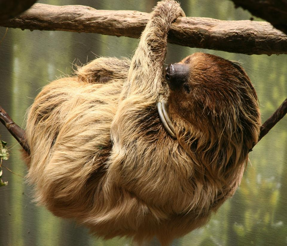 Free Brown-throated Two-toed Sloth