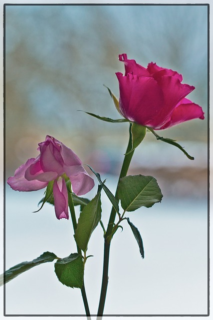 Free roses flowers red rose pink winter rose romantic