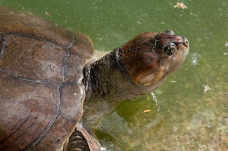 Free A Yellow-spotted Amazon River Turtle