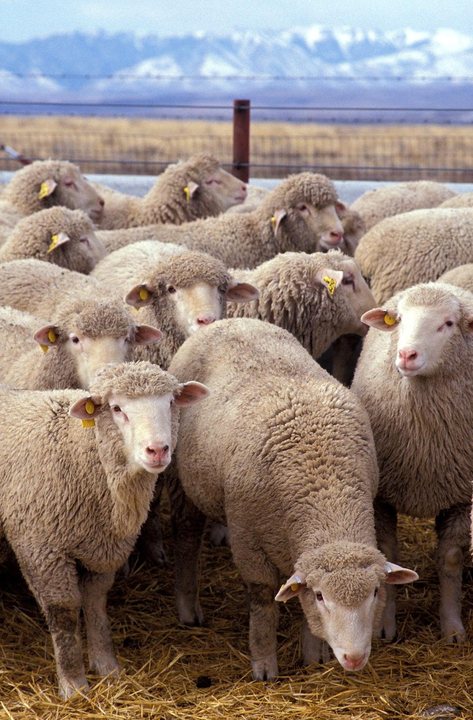 Free Livestock farm, herd of sheep