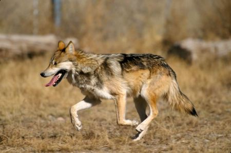 Free Mexican gray wolf