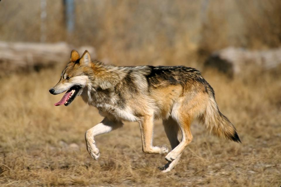 Free Photos: Mexican gray wolf | Jurassic