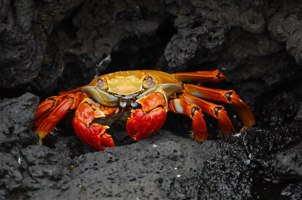 Free Brightly colored Sally Lightfoot crab