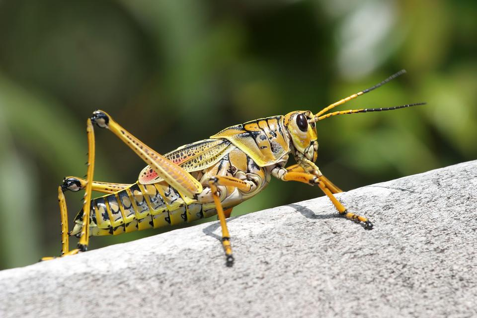 Free Giant Orange Grasshopper
