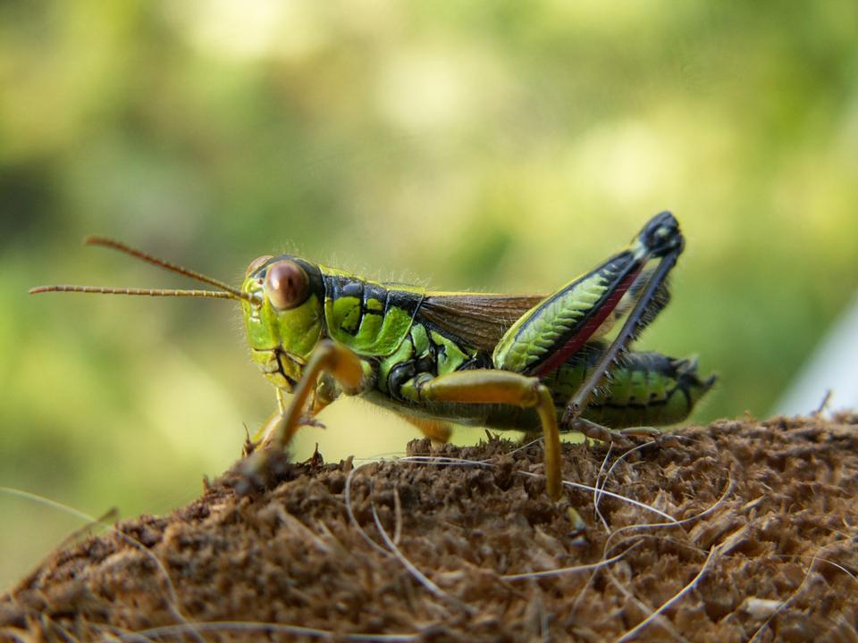 Free a bright green grasshopper nymph sitting