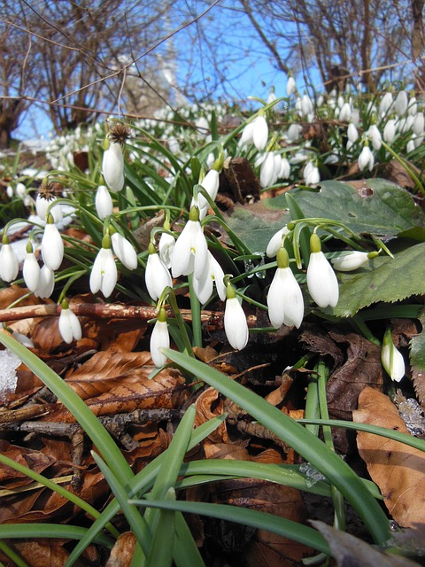 Free leaves snowdrops spring sunshine blue sky plants