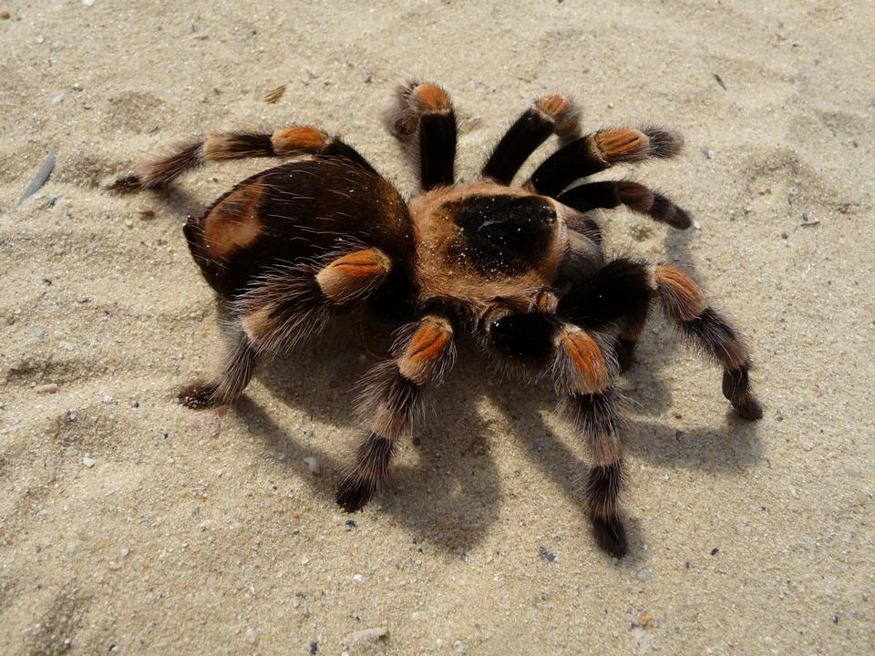 Free Female orange-knee, or Mexican red-kneed tarantula