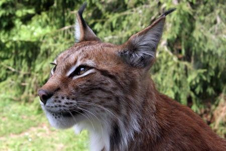 Free Close-up portrait of an Eurasian Lynx