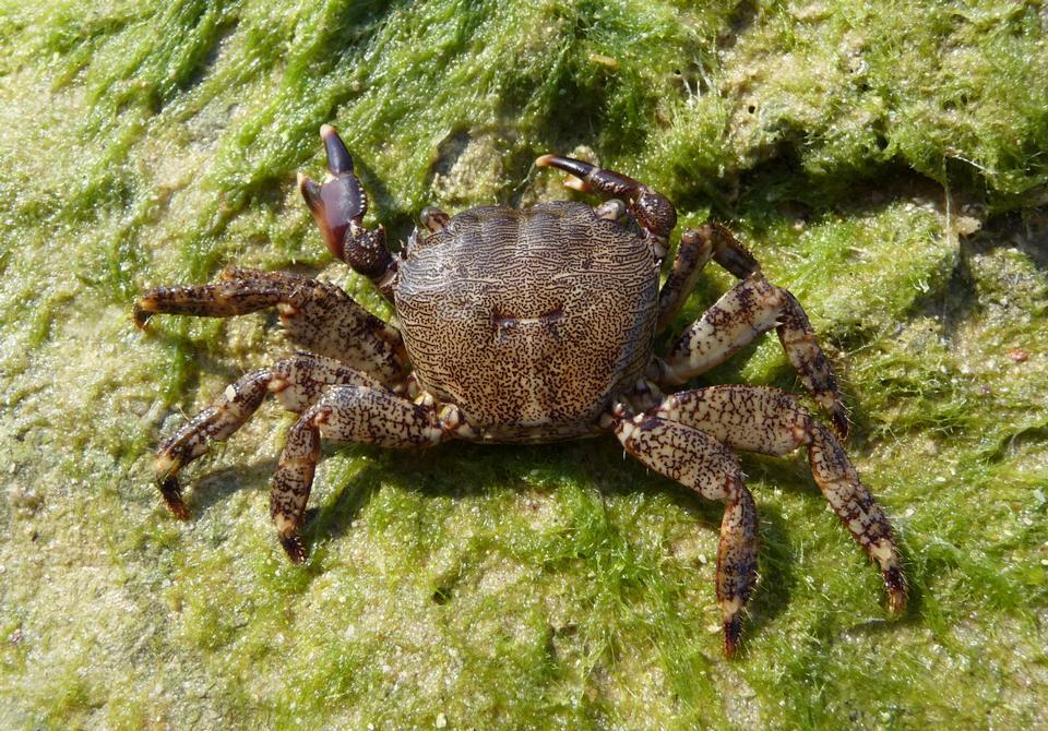 Free Marbled crab, Pachygrapsus marmoratus