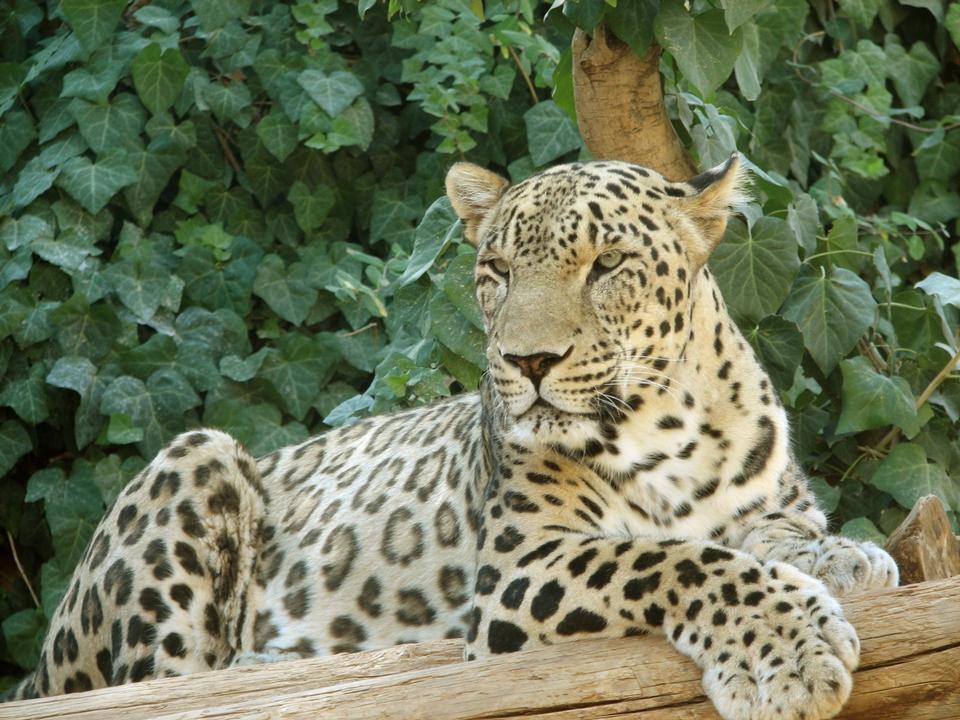 Free Persian Leopard