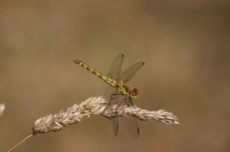 Free Resting red dragonfly