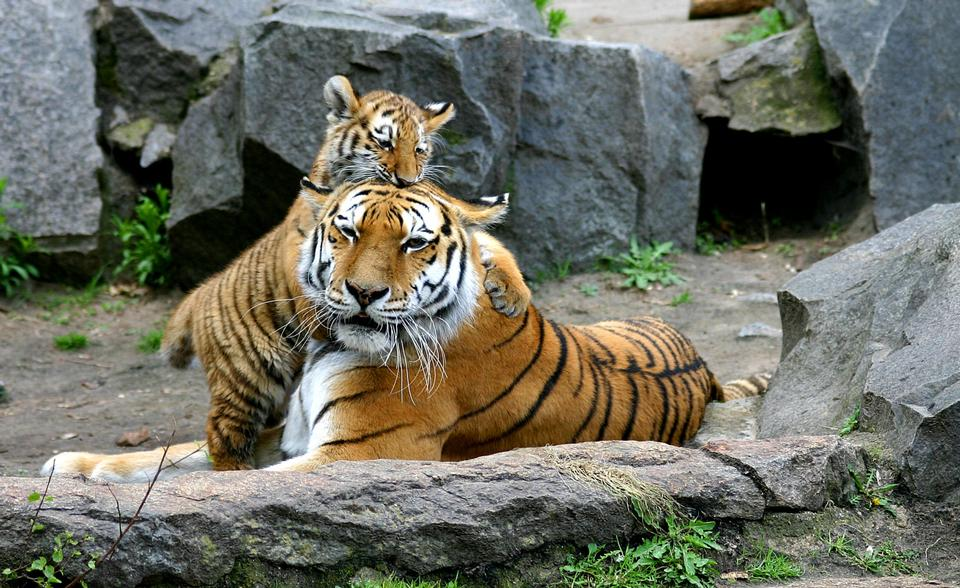 Free Tigers in Berlin Tierpark
