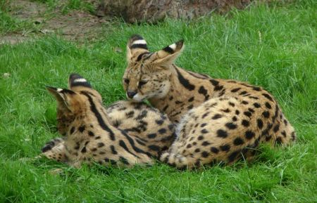 Free Two young servals