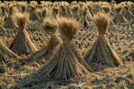 Free Rice straw