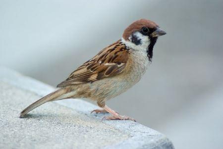 Free An Eurasian Tree-Sparrow
