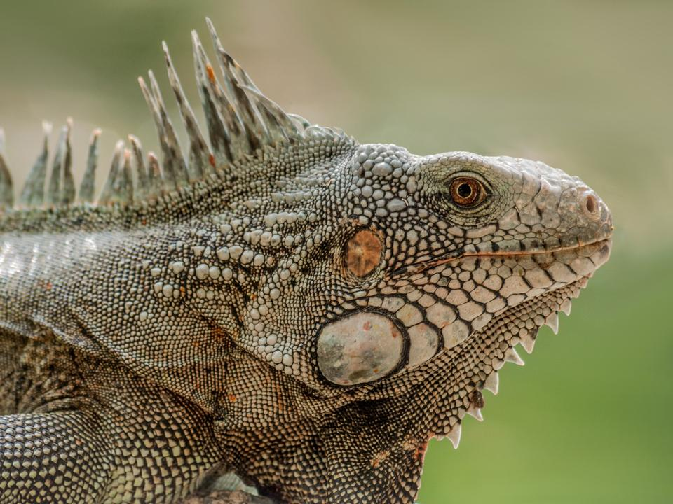 Free Closeup Portrait Of A Green Iguana