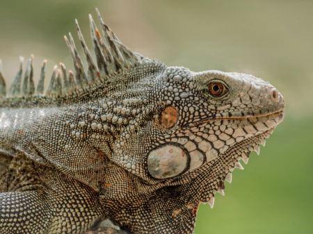 Free Closeup Portrait Of A Green Iguana