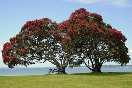 Free Pohutukawa tree on Cornwallis Beach, West Auckland