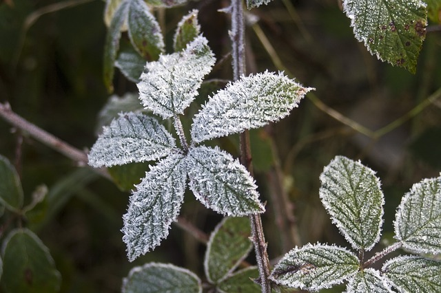 Free hoarfrost leaves blackberry cold frost frosty