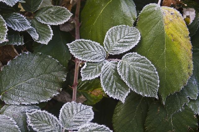 Free blackberry hoarfrost cold frost frozen