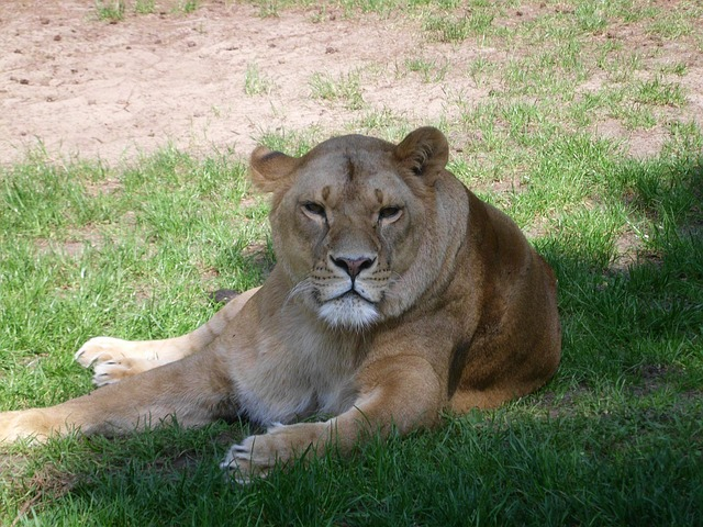 Free pets serengeti zoo nature lion