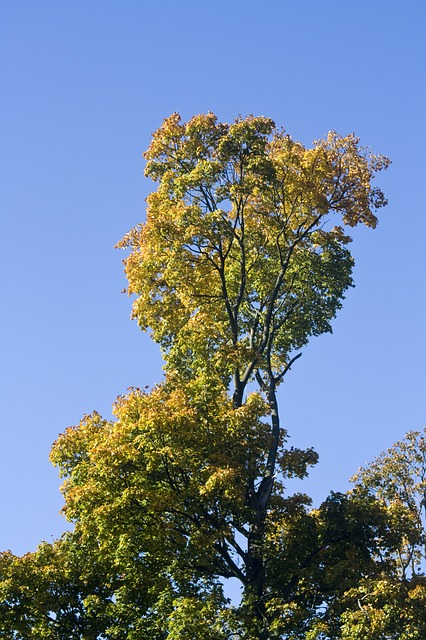 Free crown golden yellow emerge leaves oak october