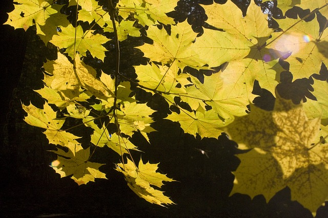 Free emerge leaves maple book october autumn golden