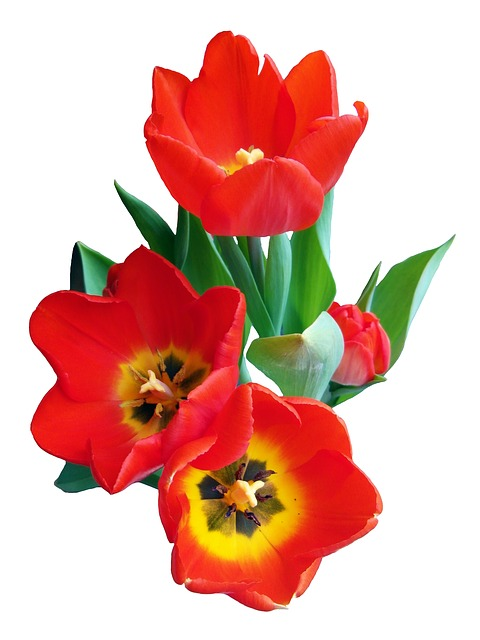 Free tulip red spring flower strauss onions holland