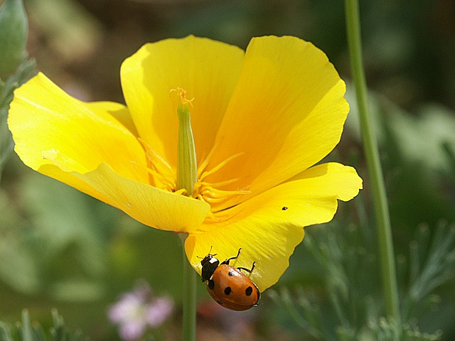 Free flowers flower yellow plants nature ladybug