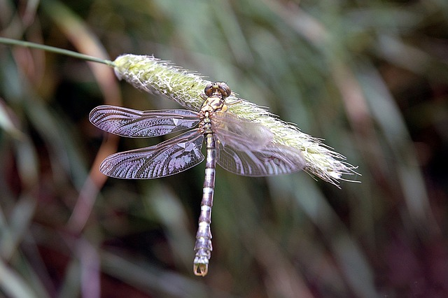 Free dragonfly insects nature reed