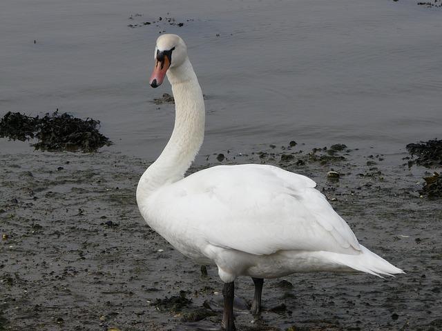 Free swan fareham creek water bird nature