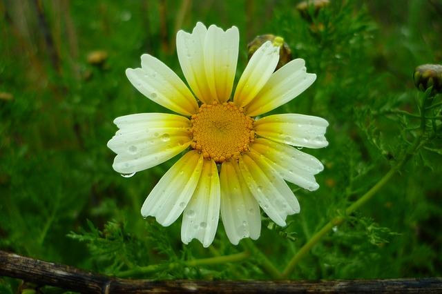 Free daisy field rain drops yellow atalaya flower