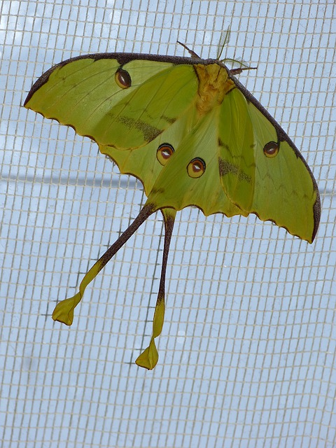 Free comet moth butterfly large eyespots large butterfly