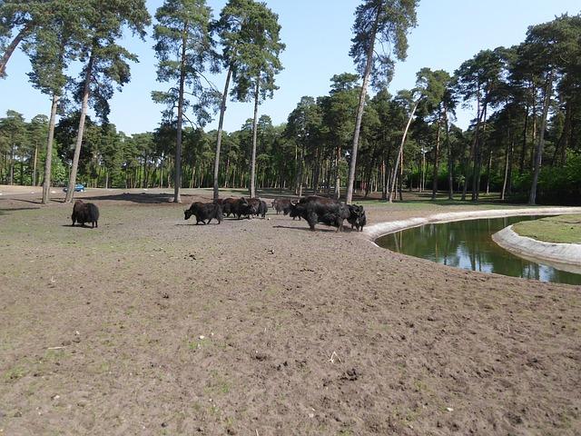 Free pets serengeti zoo buffalo sand