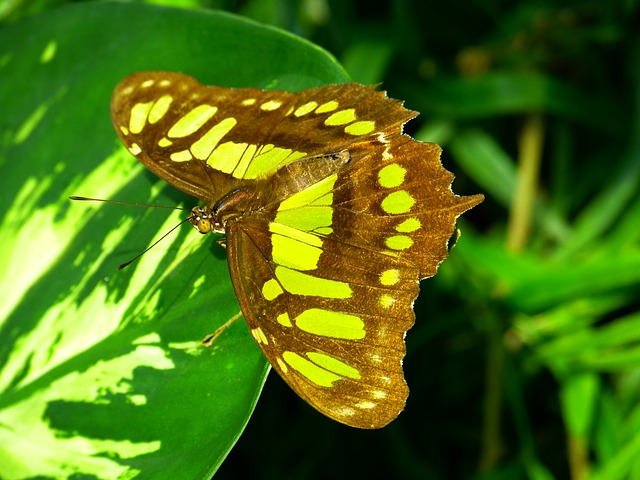 Free butterfly fly insect animal malachite butterfly