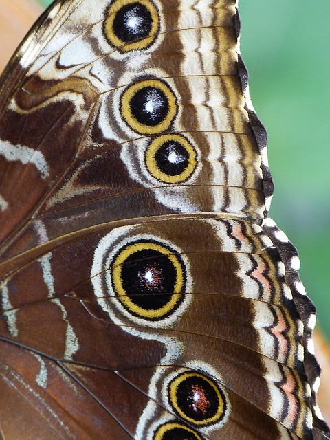 Free butterfly noctuinae stubs wing insect animal
