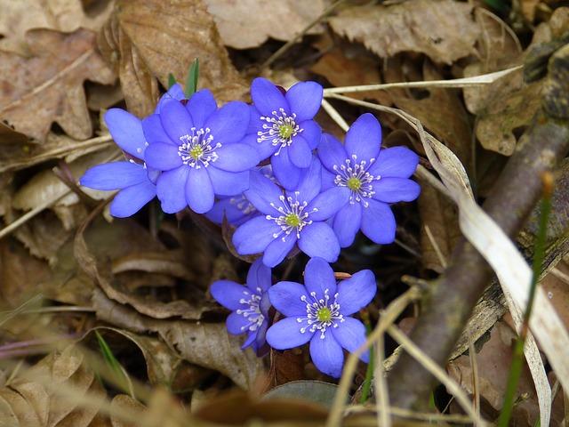Free hepatica flower hepatica nobilis ranunculaceae