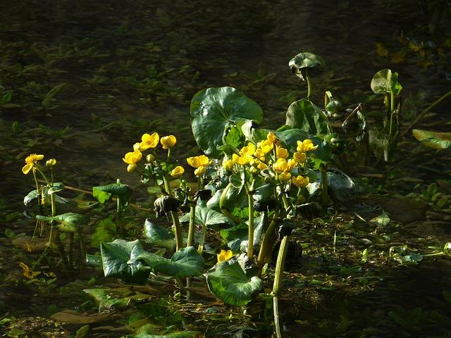 Free caltha palustris hahnemann foot greenhouse yellow