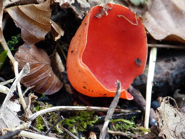 Free vermilion kelchbecherling mushroom