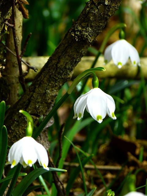 Free               snowflake fruehlingsknotenblume spring spring flower
