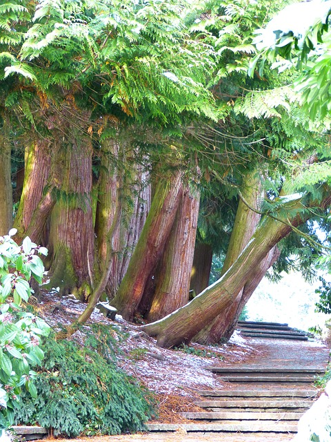 Free away thuja thuja trees tree of life tree plant