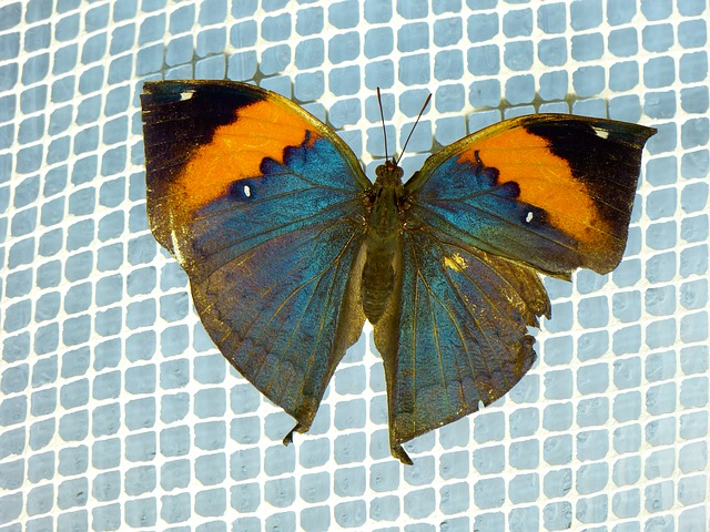 Free indian blattschmetterling kallima inachus butterfly