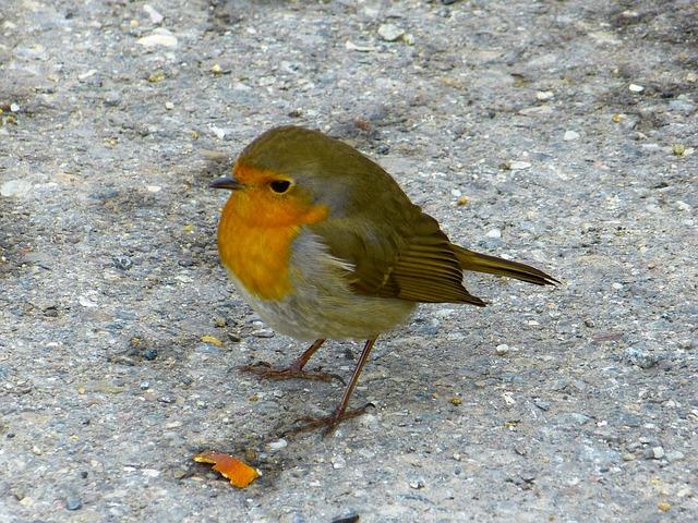 Free robin bird pets erithacus rubecula beautiful