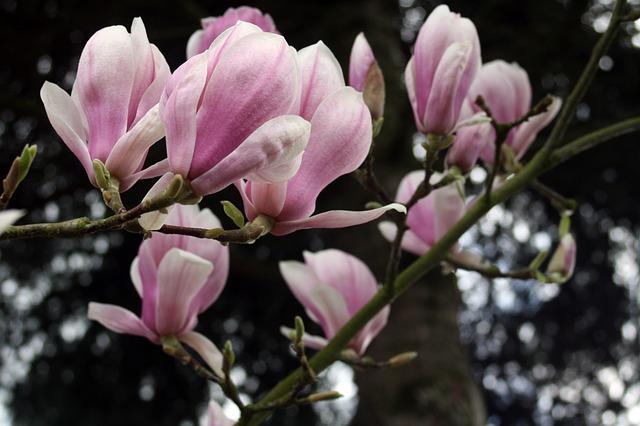 Free Photos: Magnolia tender flower spring | Gaby Stein