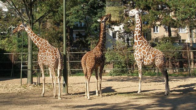 Free pets giraffes nature neck africa