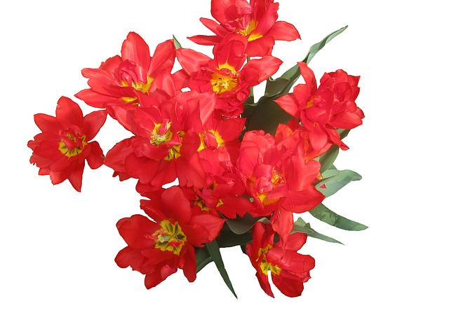 Free tulips red spring flowers flora bouquet love
